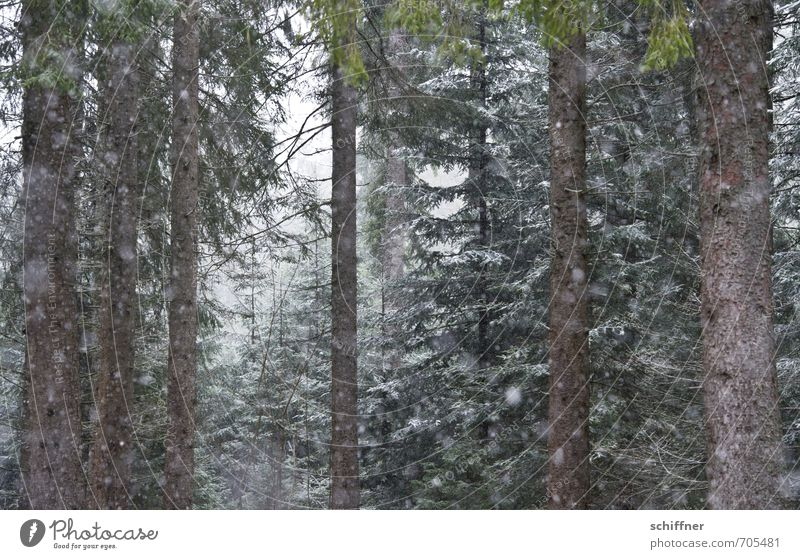 Nature Plant Tree Landscape Winter Cold Forest Environment Snow Snowfall Ice Fog Frost Fir tree Snowscape Bad weather