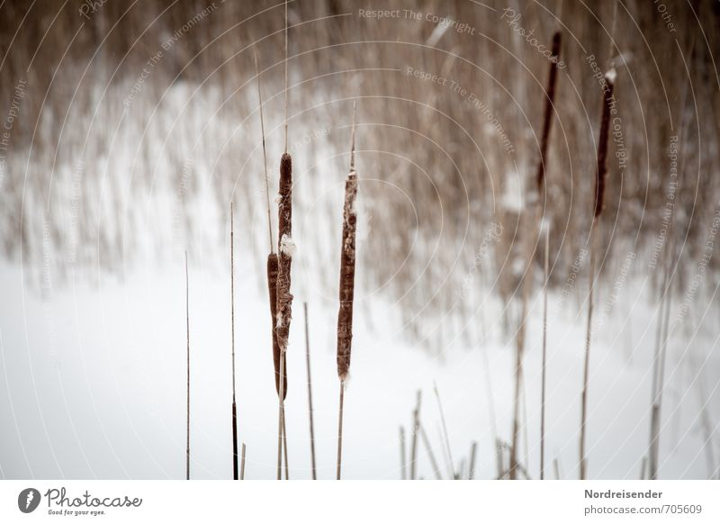 A winter day Calm Nature Landscape Plant Winter Ice Frost Snow Lakeside Bog Marsh Pond To dry up Dry Brown White Stagnating Moody Cattail (Typha) Common Reed