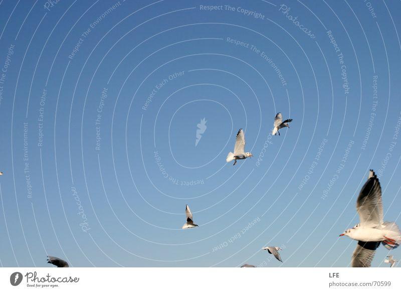 seagull fun on rebuke Seagull Bird Blue Sky Freedom Flock Beautiful weather text space Flying