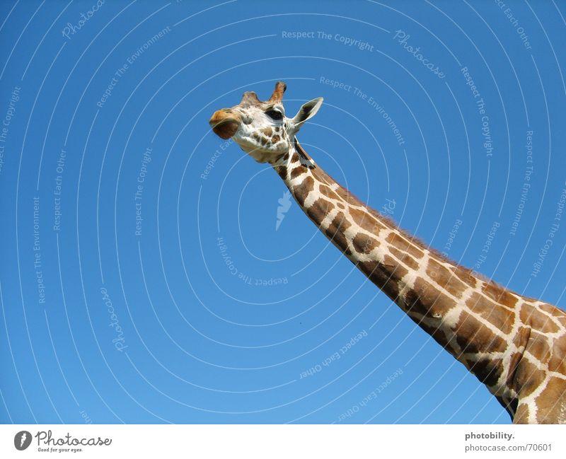 A giraffe's going high! Animal Long Pattern Dappled Large Sublime Africa Ruminant Giraffe Sky giraffe's neck Neck Patch Blue Tall Freedom