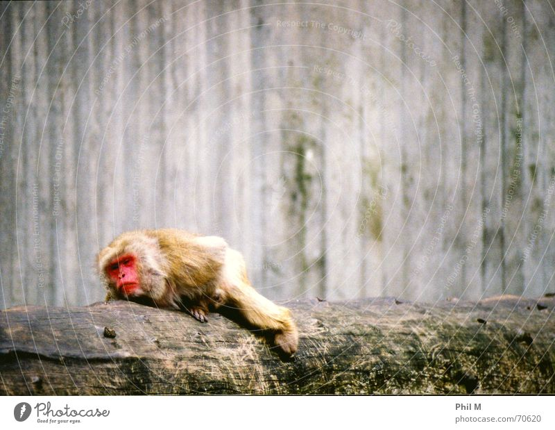 Red Animal Gray Sadness Dream Brown Lie Sleep Gloomy Grief Zoo Fatigue Tree trunk Watchfulness Captured Monkeys