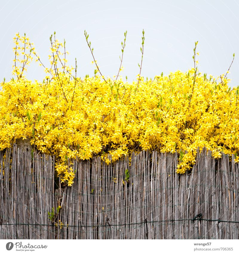 Sky Plant Yellow Spring Blossom Brown Garden Bushes Cloudless sky Fence Common Reed Golden yellow Spring colours Forsythia Forsythia blossom