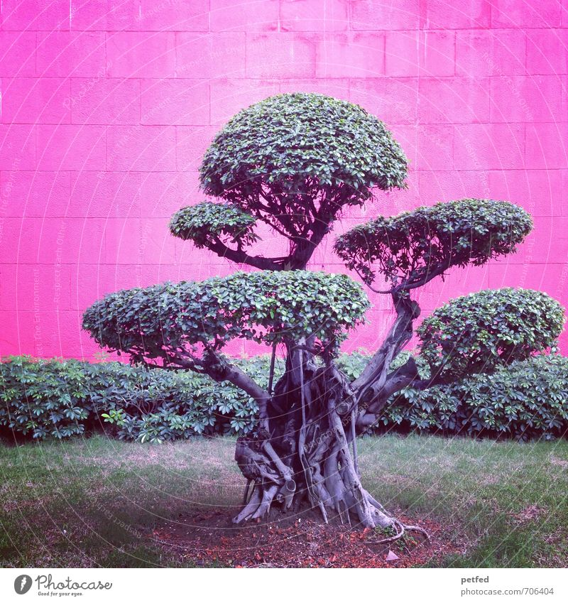 bonsai Tree Grass Bushes Exotic Bonsar Park Wall (barrier) Brick Small Town Gray Green Pink Design Uniqueness Asia China Thin Colour photo Exterior shot