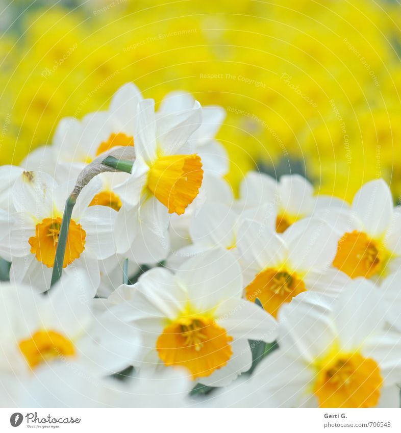 fresh*happy*spring Plant Spring Flower Blossom Narcissus Wild daffodil Park Fresh Multicoloured Yellow White Spring fever Versatile Multiple Bright Colours