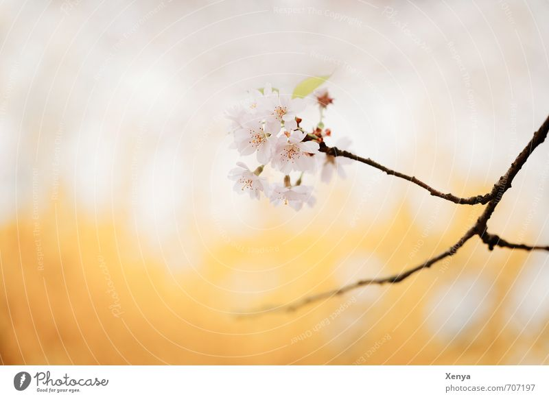 Nature Plant Tree Yellow Blossom Pink Esthetic Blossoming Branch Romance Delicate Anticipation Spring fever Cherry blossom Cherry tree