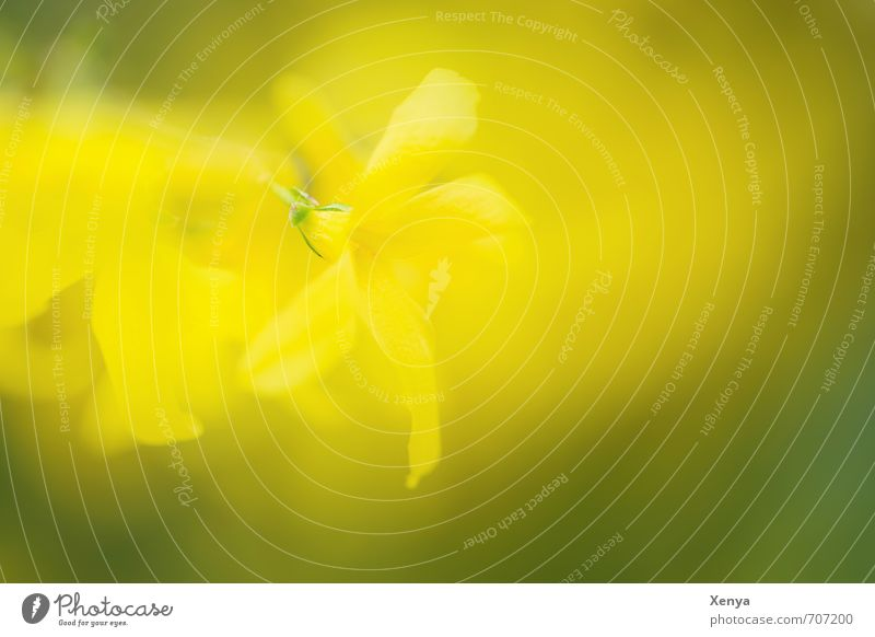several times beautiful Environment Nature Plant Spring Bushes Blossom Blossoming Illuminate Yellow Green Blur Double exposure Exterior shot Detail Experimental