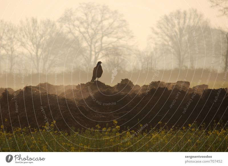 Pheasant in the morning Environment Nature Landscape Plant Animal Spring Tree Blossom Canola field Field Village Wild animal Bird Pheasant family 1 Observe