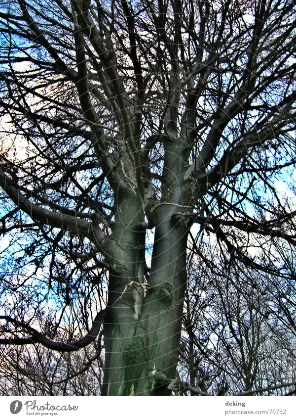 Siamese twins Tree White Black Nature Branch Net Treetop Twig Sky Blue Level Tall tree portrait