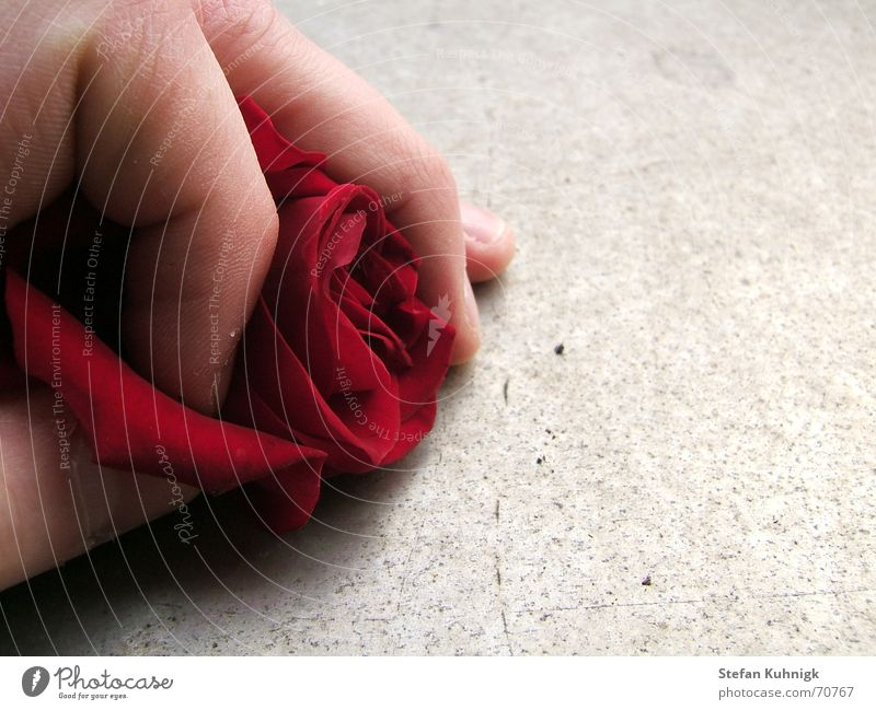 Useless Rose Rose leaves Red Hand Fingers Skin Macro (Extreme close-up) Thorn Shadow