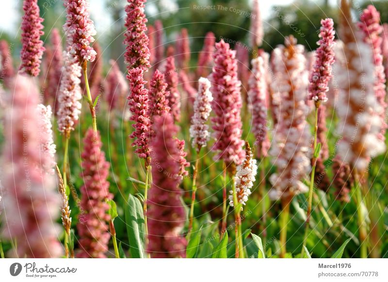 meadow Meadow Red Grass Green Nature Plant Garden Landscape