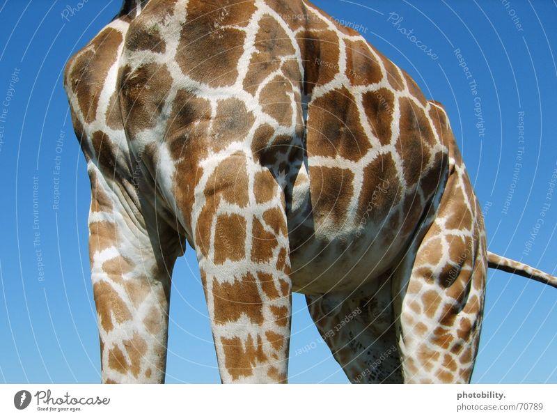 Sky Blue Animal Large Might Africa Patch Dappled Sublime Giraffe Impressive Massive Ruminant