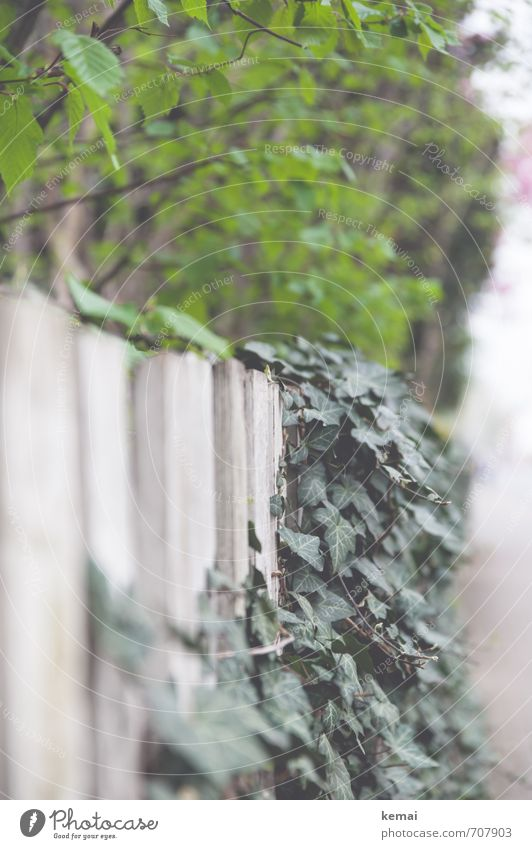 green tones Environment Nature Plant Tree Bushes Ivy Leaf Foliage plant Hang Growth Fresh Green White Fence Garden fence Colour photo Subdued colour