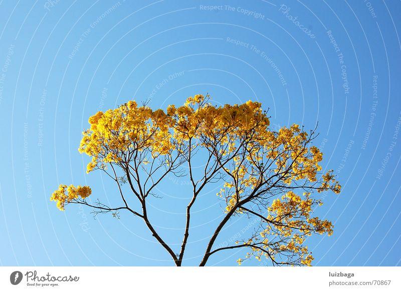 Nature Yellow Brazil Blue sky
