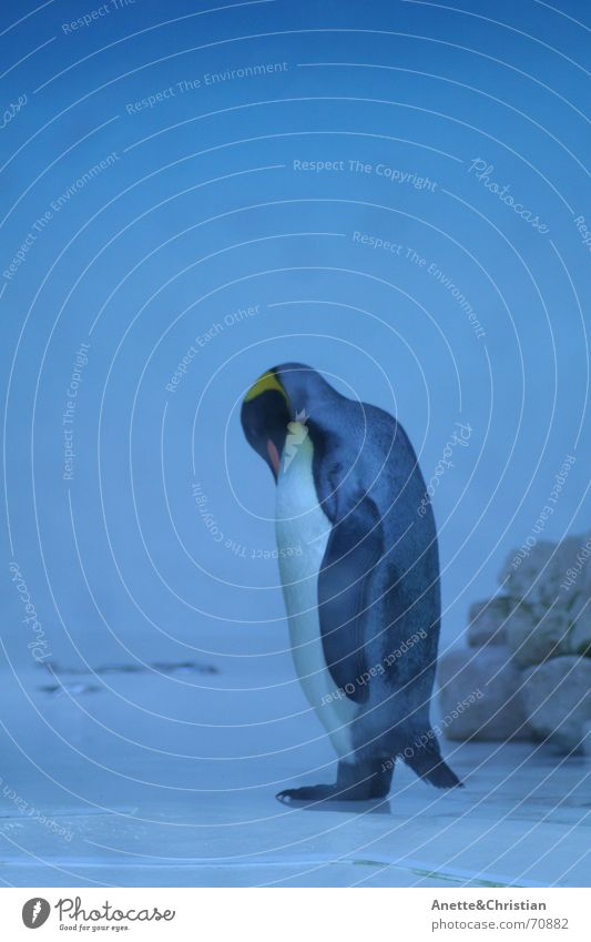 King Penguin King penguin South Pole Cold Animal Blue Water