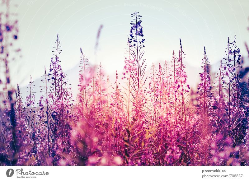 Flowers at sunset Summer Environment Nature Plant Spring Blossom Wild plant Meadow Natural Blue Violet Pink botanical Floral Horizontal Purple weed Colour photo