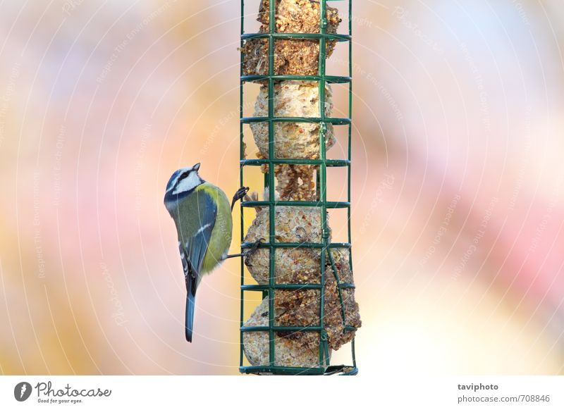 parus caeruleus hanging on fat feeder Nature Blue Beautiful Colour Animal Winter Yellow Environment Small Natural Eating Garden Bird Wild Sit Photography
