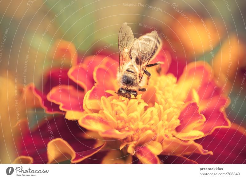 Honey bee Herbs and spices Garden Environment Nature Plant Summer Flower Blossom Meadow Animal Wild animal Bee Small Natural Above Yellow Gold background Crops