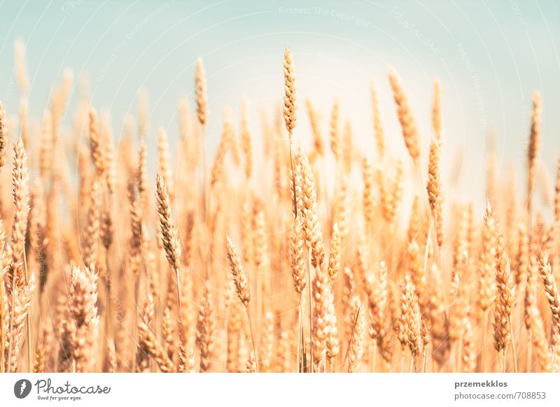 Golden wheat Summer Environment Nature Agricultural crop Growth Fresh Natural Yellow agricultural agriculture background Cereal corn Cornfield country ear Farm