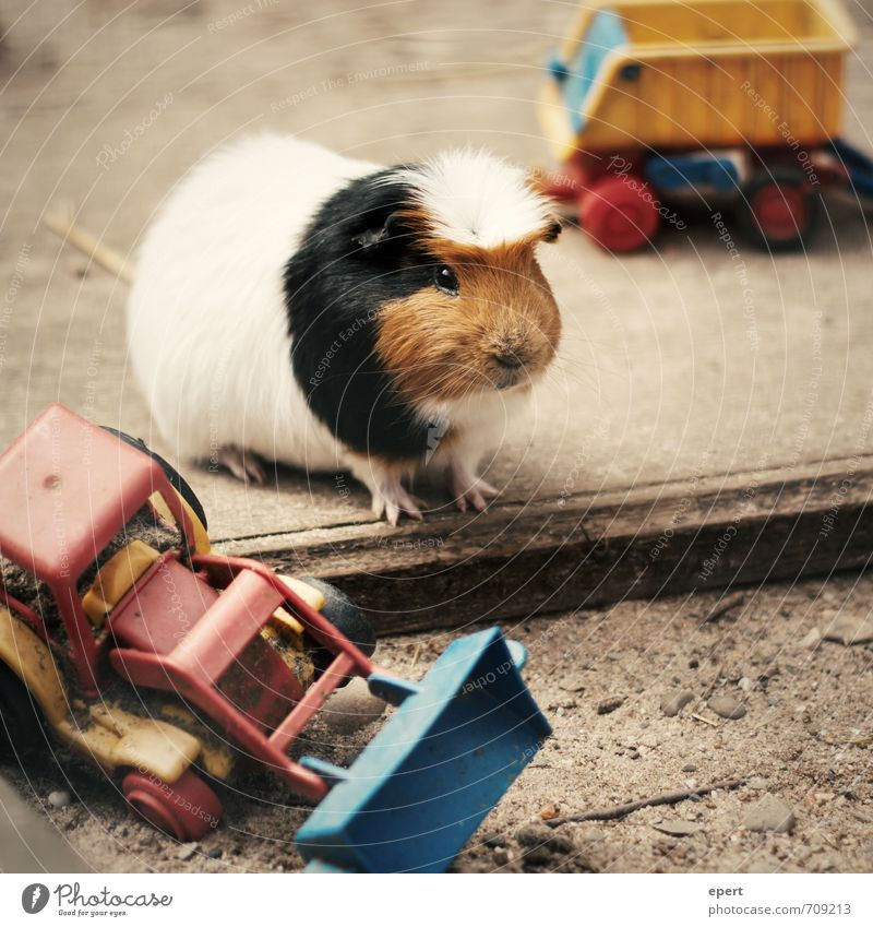 Toys are us Animal Pet Petting zoo Guinea pig 1 Utilize Playing Brash Broken Kitsch Small Cute Joy Happiness Anticipation Enthusiasm Self-confident Cool (slang)