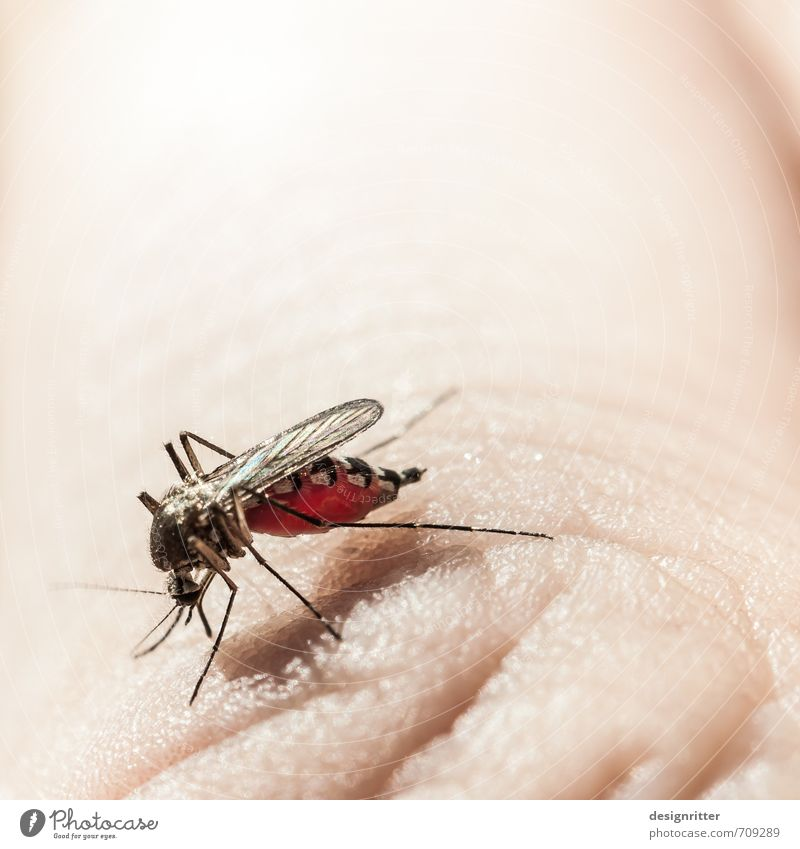drunk Nutrition Drinking Summer Sunbathing Skin Hand Fingers Animal Insect Mosquitos 1 Eating To feed Bright Red Appetite Thirst Fear Gluttony Voracious Blood