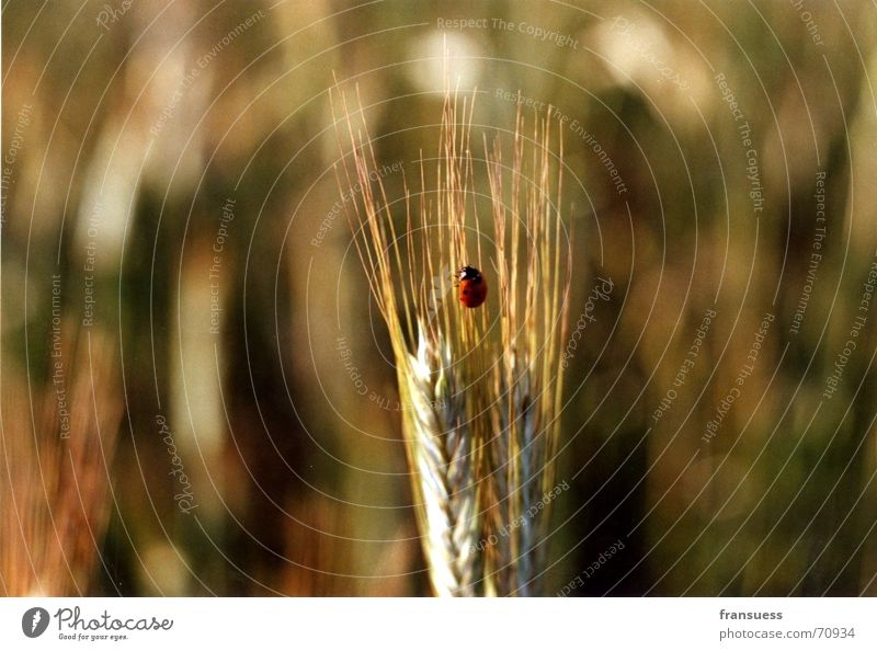 very central placed ladybird Ladybird Ear of corn Wheat Middle Insect Cute Red Black Beetle Close-up Nature Peaceful