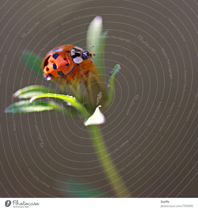 Ladybug lands on a wildflower Ladybird lucky beetle symbol of luck Easy Ease Summer feeling Good luck charm Balance Idyll Spotted Sunbeam Beetle