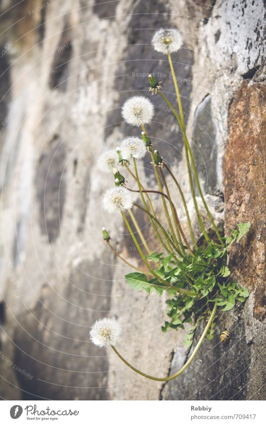 Nature Green Plant Flower Environment Wall (barrier) Gray Stone Natural Exceptional Rock Growth Climbing Dandelion Snail Extreme