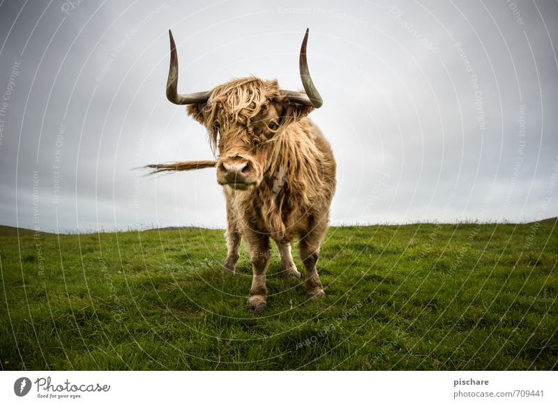 moo Meadow Animal Farm animal Cow 1 Curiosity Cattle Highland cattle New Zealand Colour photo Exterior shot Day Deep depth of field Wide angle Looking