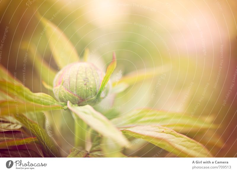 AST 7 I bursting with spring Nature Plant Spring Flower Peony Garden Park Growth Fresh Natural Beautiful Bud Subdued colour Exterior shot Close-up Detail