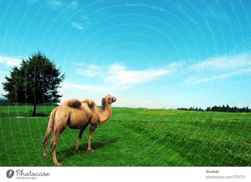 tubercles Camel Zoo Park Summer Physics Sky Animal Meadow Green Strange Exceptional Wilderness Hot Friendliness Tree Clouds Horizon Brand of cigarettes animals