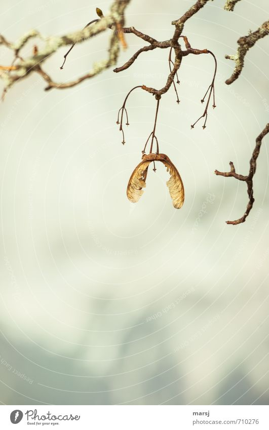 I don't care if it's spring now. Nature Autumn Winter Plant Tree Wild plant Seed Maple tree Maple branch Maple seed Wood Old Hang Faded To dry up Thin Authentic