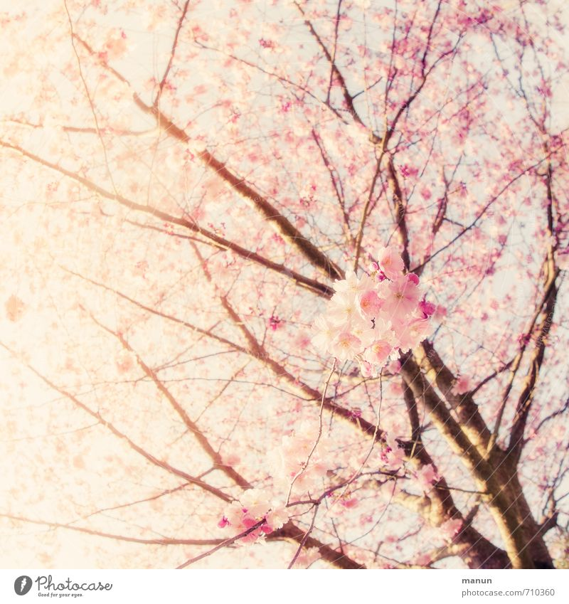 Skywards Nature Spring Beautiful weather Tree Blossom Cherry blossom Cherry Blossom Festival Ornamental cherry Spring colours Spring day Spring flower