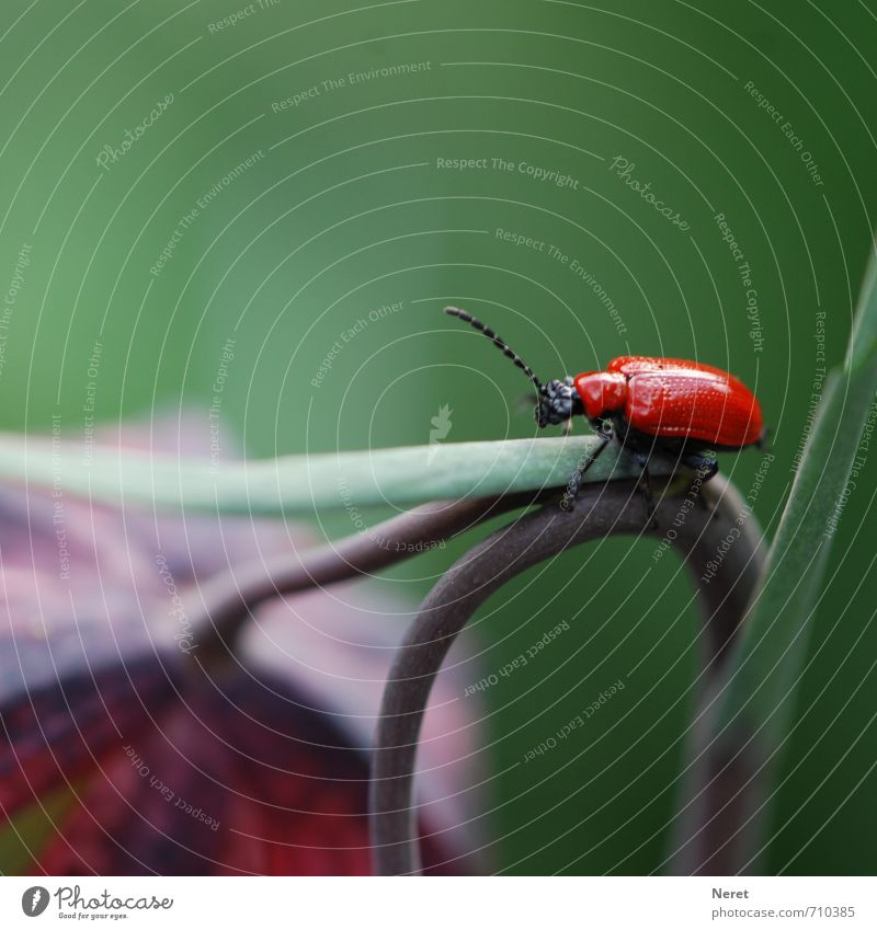 red beetle Wild animal Lily beetle Beetle 1 Animal Esthetic Green Violet Red Endurance Voracious Environment Colour photo Subdued colour Exterior shot Close-up