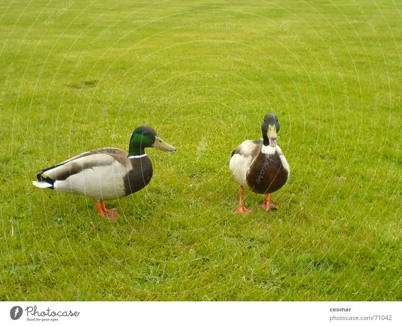 Green Grass 2 Bird Pair of animals In pairs Duck