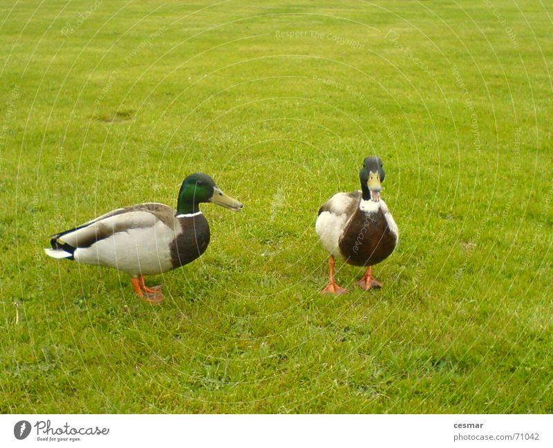 Green Grass 2 Bird Pair of animals In pairs Duck