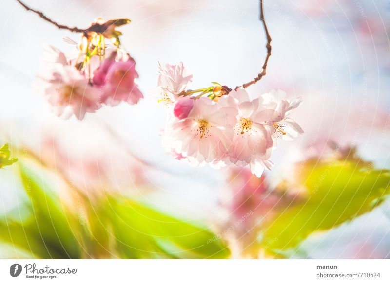 tender cherry Nature Spring Tree Leaf Blossom Cherry blossom Spring colours Spring day Spring fever Ornamental cherry Natural Pink Colour photo Exterior shot