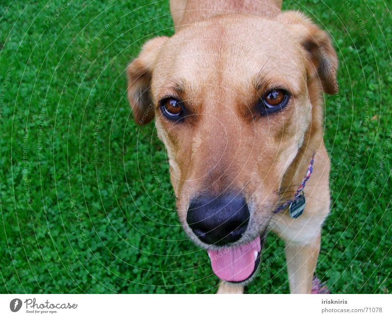 Green Eyes Animal Grass Dog Bright Brown Pink Nose Sweet Cute Desire Pelt Damp Tongue Parenting