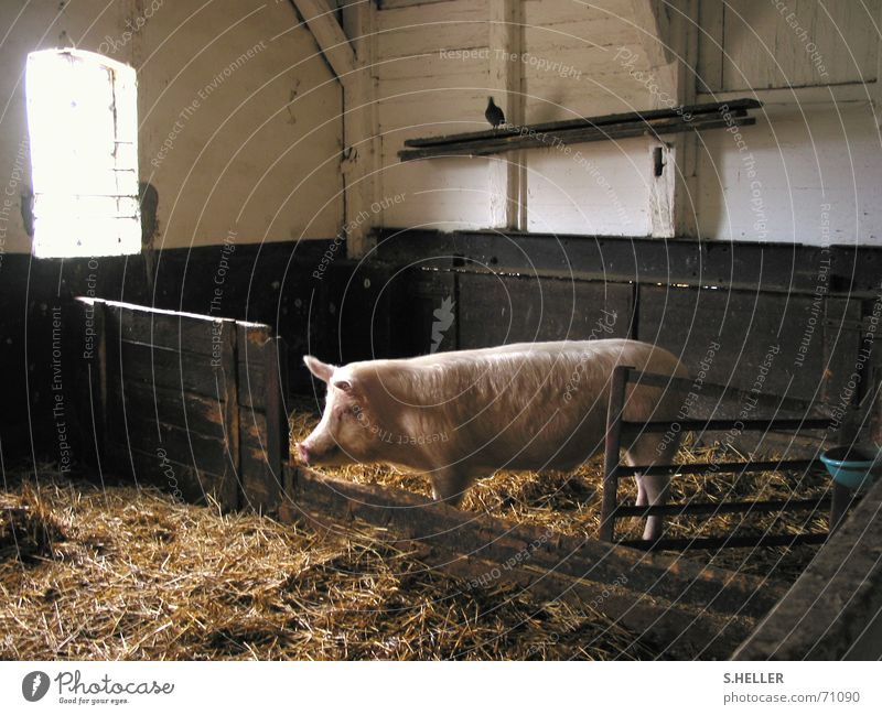 Calm Happy Pink Peace Farm Past Mammal Pigeon Swine Straw Barn Primordial Sow Country life