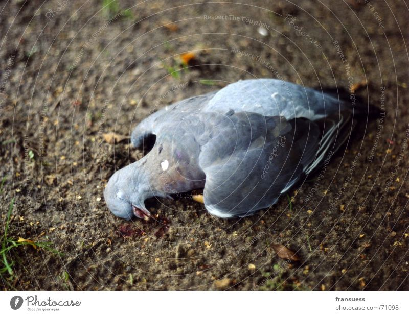 fallen Pigeon Sleep Slate blue Feather Animal Bird Death Peaceful Earth Floor covering Like blissfully