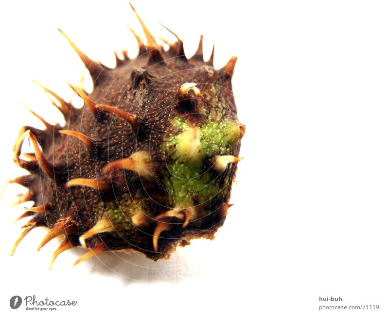 spiked hull Brown Rescue Tree Green Animal Husk Hurt Sheath Chestnut tree Thorn Seed Earth Floor covering To fall Shadow Bowl Point Pain Rough