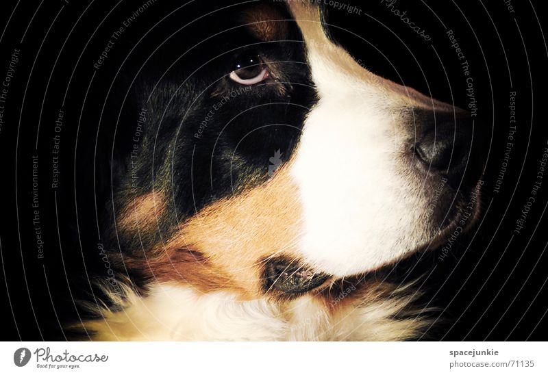 Bernese mountain dog Dog Bernese Mountain Dog Dreamily Snout Nose Pelt Animal Pet Dog's head Animal portrait Black White