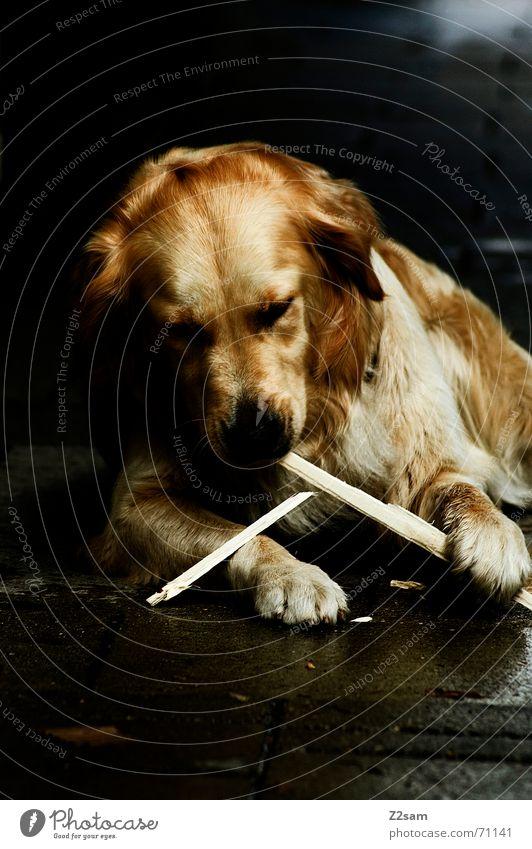 Animal Playing Dog Gold Sweet Lie Cute Friendliness Stick Paw Golden Retriever