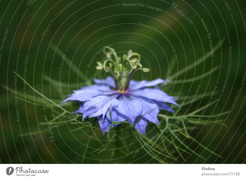 curly Summer Plant Flower Blue Green Violet Delicate Blossom leave Vessel curled Treetop filigree blossom crown skirt Colour photo Exterior shot Deserted Day