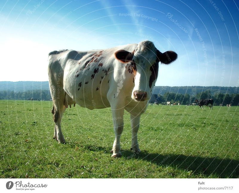 cow Cow Dairy cow Meadow Sky