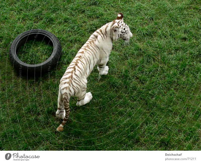 Doesn't anyone want to play? Animal Land-based carnivore Big cat Tiger Zoo White Bird's-eye view safari park stucco
