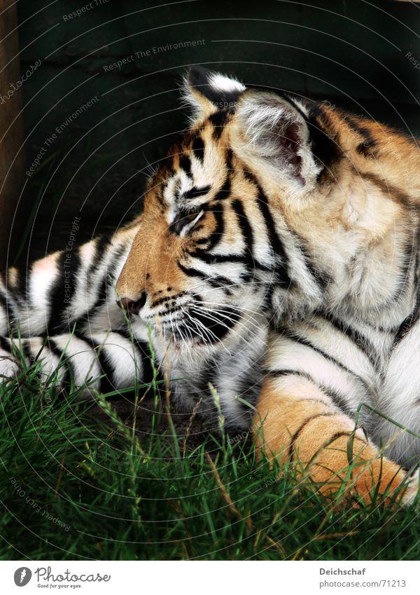Little Tiger Animal Land-based carnivore Big cat Zoo Striped safari park stucco Baby animal