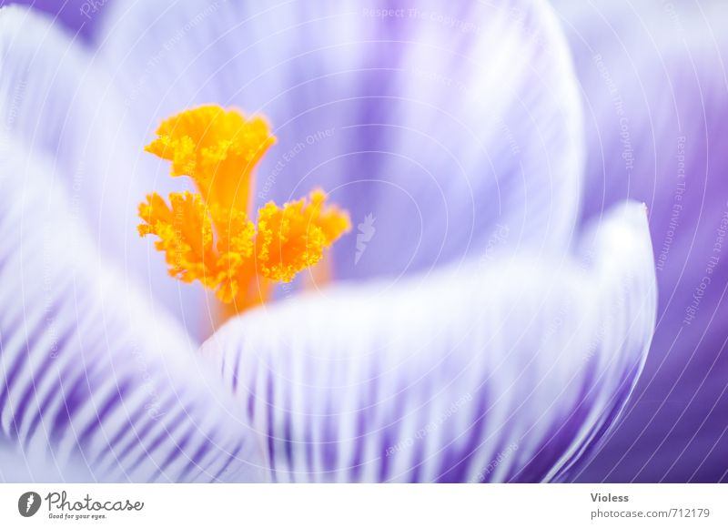 the yellow from ... Blossom Pistil Crocus Spring Macro (Extreme close-up) Yellow Violet