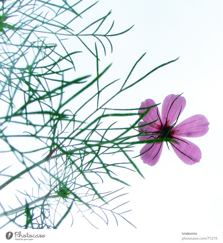 Cosma Flower Delicate Fragile Blossom Pink Part of the plant Flower stem Blade of grass Stalk Graceful Beautiful Summer fluoroscopy Sky cosmee Smooth Elegant