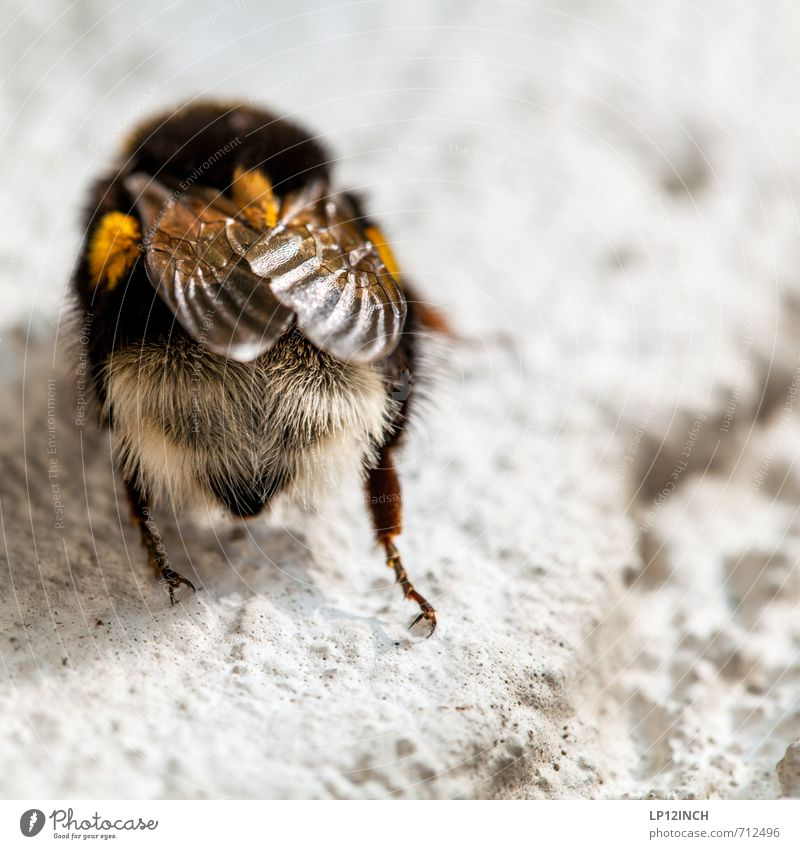 The pollinator Nature Animal Bumble bee 1 Work and employment Flying Environment Wing Hair Insect Sprinkle Flower Pollen Break Colour photo Exterior shot