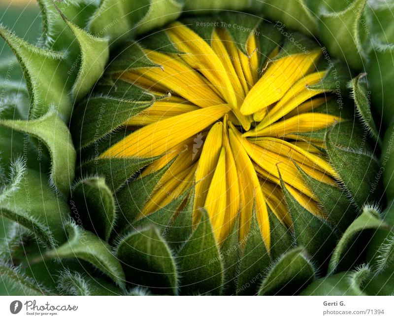 Green Summer Yellow Autumn Closed Fresh Broken Protection Blossoming Seasons Hide Bud Sunflower Safety (feeling of) Blossom leave Hiding place